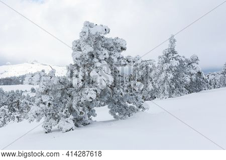 Panorama Of Winter Landscape With Snow-covered Pine Forest In The Mountains Of Crimea.
