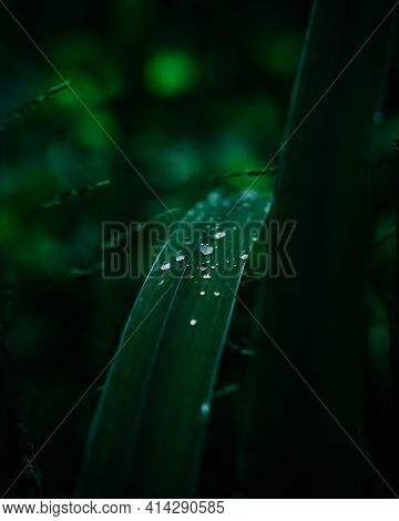 Water Drops On The Grass. Dew, Purity And Freshness.