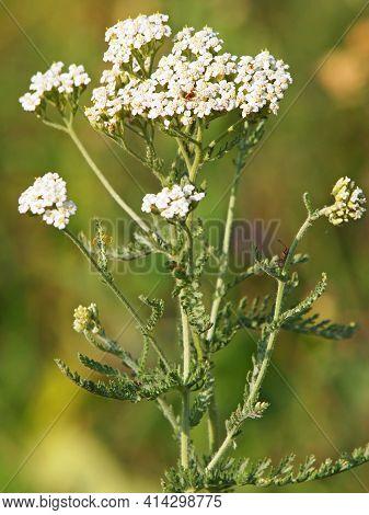 Yarrow Wild Plant Blooming In Summer, Achillea Millefolium