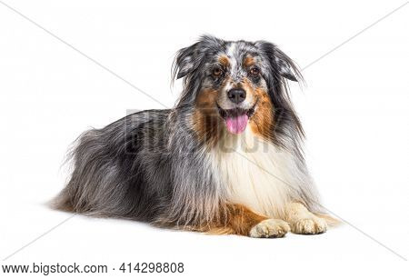 Lying down Australian Shepherd panting, isolated
