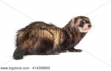 Back view of a European polecat looking back or looking away, isolated