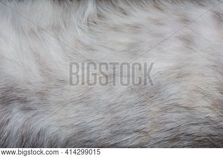 Gray Belly Of A Kitten Close-up. Light Gray Cat Fur. Backgrounds And Textures.