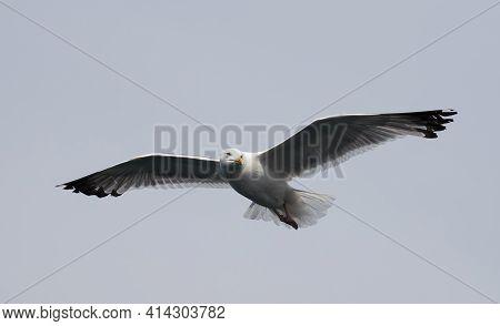 White Seagull Flying In The Sky. Flight Of Gull.