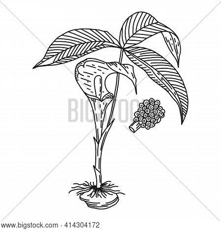 Three Leaved Arum, Medical Plant, Vector Illustration. Hand Drawing Nature Herb Medicine Ingredient,