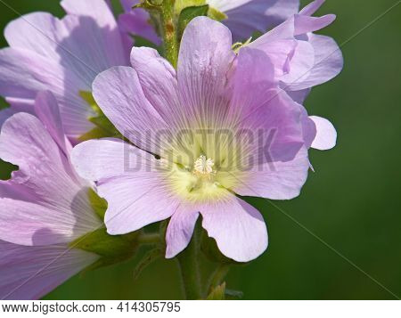 Pink Flower Of Greater Musk-mallow Or Vervain Mallow. Malva Alcea