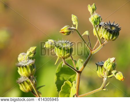 Velvetleaf Plant With Yellow Flowers And Pods, Abutilon Theophrasti