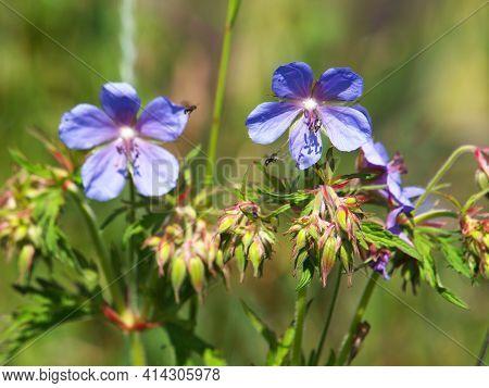 Meadow Cranesbill Or Meadow Geranium, Geranium Pratense