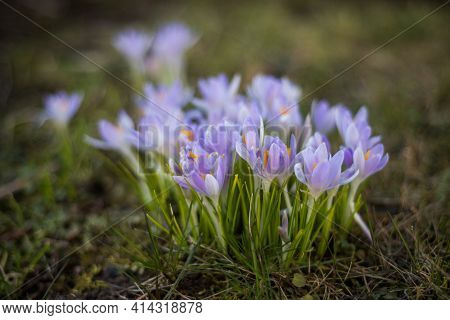 Beautiful Spring Background With Close-up Of A Group Of Blooming Purple Crocus Flowers On A Meadow:
