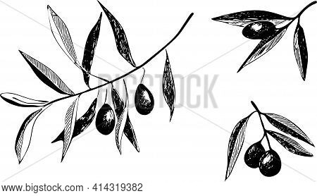 Set Of Olive Branch With Olives. Hand Drawing Vector Illustrations Isolated On White Background. Mon