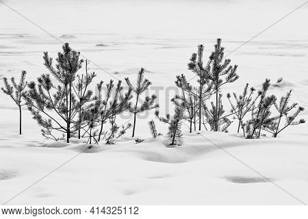 Abstract Winter Landscape With Small Bushes Of Spruce Or Pine Trees On White Snow In A Snowdrift
