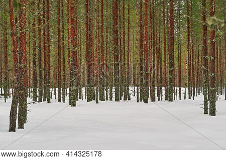 Winter Landscape Of Large Pines With Green Needles On Branches And Brown Trunks On White Snow