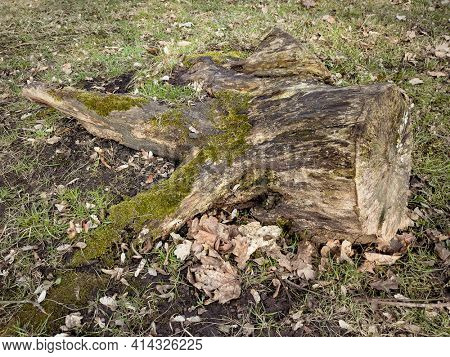 Beautiful old tree stump covered with moss in the forest.