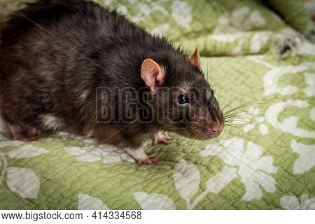 Fancy Berkshire Pet Black Rat Playing On Bed Sheets