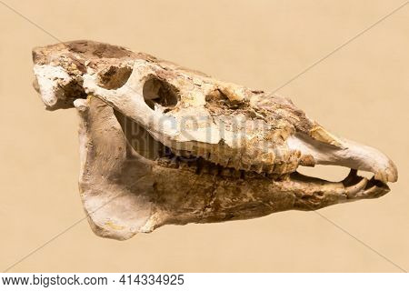 The Skull Of Hipparion (lat. Hipparion Elegans) Is Isolated On A White Background. Paleontology Late