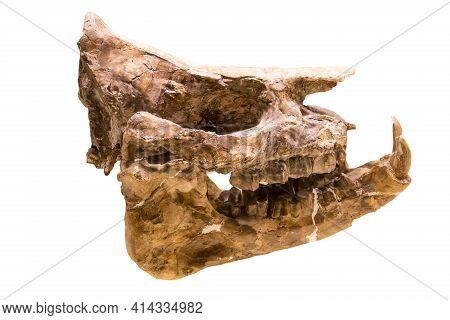 The Skull Of The Hornless Running Rhinoceros Aceratherium (lat. Aceratherium Incisivum) Is Isolated