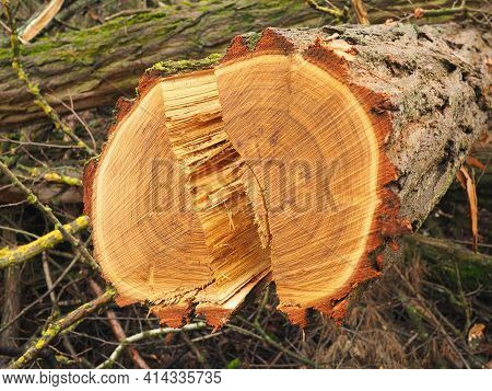 Split Through The Middle Of A Fresh Cut Timber Log,  Background Germany 2021