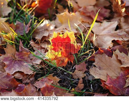 Thick Carpet Of Autumn Leaves On The Ground With Red Glow To One Leave
