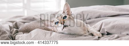 Blue-eyed Oriental Breed Cat Lying Resting On A Bed At Home Looking Away. Fluffy Hairy Domestic Pet