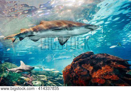 Giant Scary Sharks Under Water In Aquarium. Sea Ocean Marine Wildlife Predators Dangerous Animals Sw