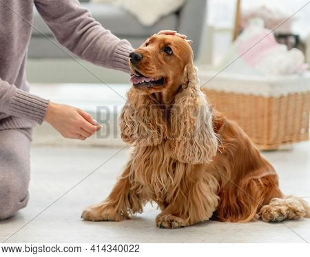 English cocker spaniel dog enjoying hands of woman owner sitting on floor at home