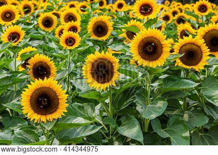 Sunflowers endless field background without people