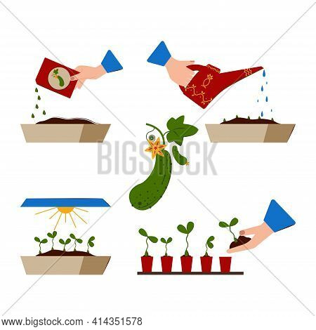 Growing Seedlings At Home. Growth Stages Of Cucumber Seedlings. Seedling. Planting Seeds, Watering T