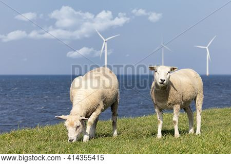 Dutch Dike Along Ijsselmeer With Off Shore Wind Turbines And Two Grazing Sheep