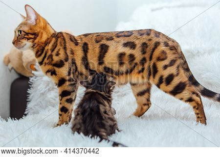 Bengal Cat With Her Little Kitten On The White Fury Blanket