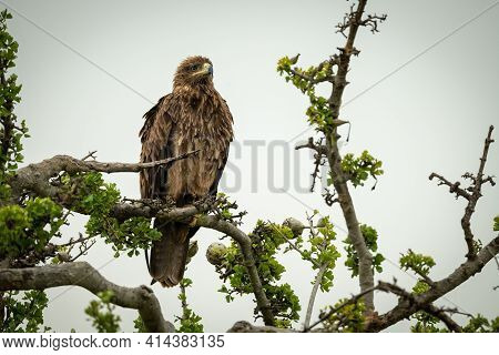 Tawny Eagle On Twisted Branch Staring Right