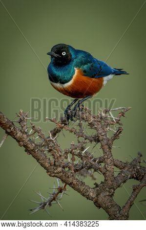 Superb Starling Perches On Thornbush Eyeing Camera