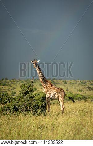 Masai Giraffe Stands Flicking Tail Under Rainbow