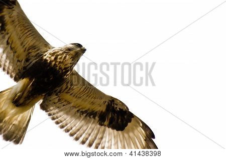 A Rough-Legged Hawk on a White Background poster