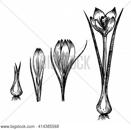 Flower Plant Growth Concept Vector Design Illustration. Crocus Germination From Corm Bulb To Sprouts