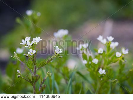 White Flowers. Delicate White Spring Wildflowers. Wildflowers And Grass In A Misty Haze On A Cloudy