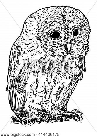 Tawny Or Brown Owl Bird. Vector Drawing Or Illustration