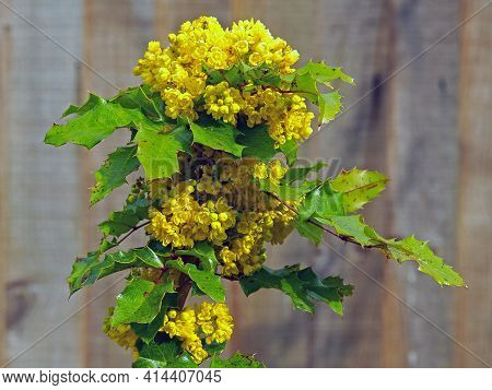 Yellow Flowers And Green Leaves On A Holly Bush