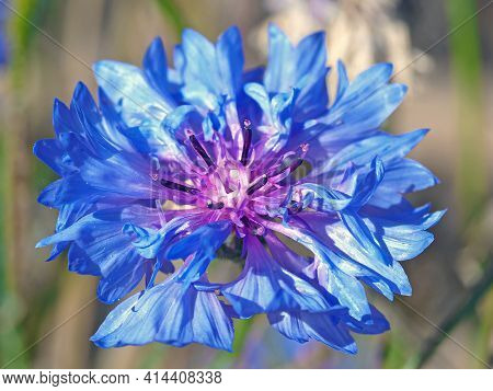 Closeup Of A Beautiful Blue Cornflower, Centaurea Cyanus