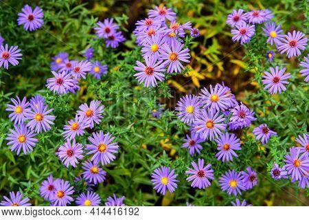 Purple Flowers New York Aster Or Aster Novi-belgii (latin: Symphyotrichum Novi-belgii) Close Up. Nat