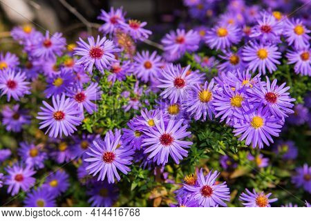 Lilac Flowers New York Aster Or Aster Novi-belgii (latin: Symphyotrichum Novi-belgii) Close Up. Back