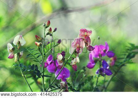 Colorful Purple And Apricot Flowers Of Australian Indigo, Indigofera Australis, Family Fabaceae. Wid