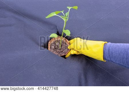 Instructions For Planting Pepper Seedlings On Spunbond, Cutting Out A Hole For Seedlings.step 7