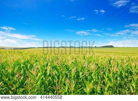 Corn Field In The Sunny And Blue Sky. Agricultural Landscape.