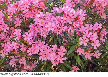 Branches Of Oleander Tree  With Green Leaves And Beautiful Pink Flowers - Nerium Oleander