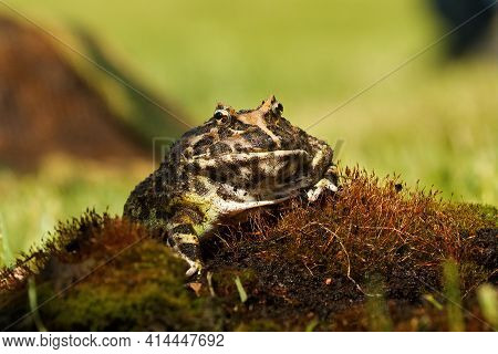 The Horned Frog (ceratophrys Ornata), Also Known As Wide-mouthed Frog, Or Ornate Pacman Frog, Sittin