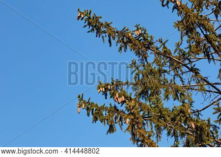 A Bunch Of Spruce Cones Hang Down From The Spruce Branches And Are Illuminated By Sunny Spring Rays