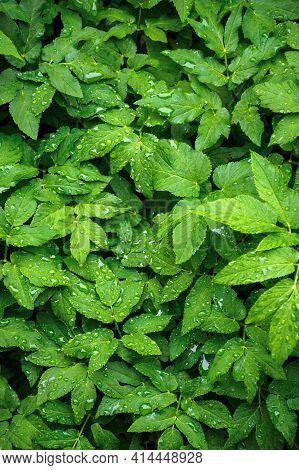 Dew Drops On The Green Leaves. Wonderful Close Up Nature Background. Freshness Concept