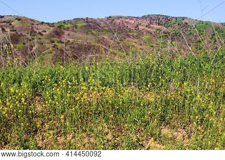 Lush Chaparral Plants With Mustard Wildflowers And Rural Hills Beyond On A Windswept Plateau Taken T