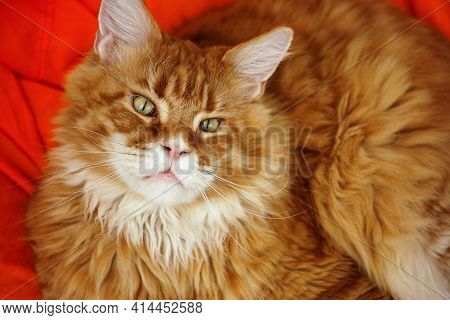 A Red Maine Coon Sitting On A Bean Bag Chair And Looking Upwards. Close Up.