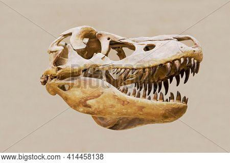 The Skull Of The Predatory Dinosaur Tarbosaurus (latin: Tarbosaurus Bataar) Isolated On A White Back