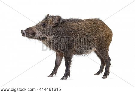 Side view of a standing Wild boar, isolated on white
